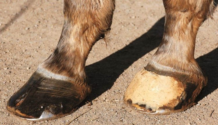 Everything About Horse Hooves